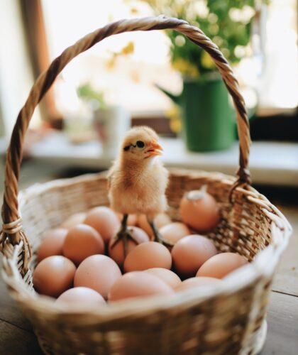 птенчик на яйцах
