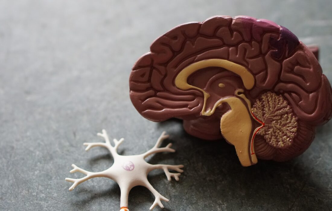 моделька мозга