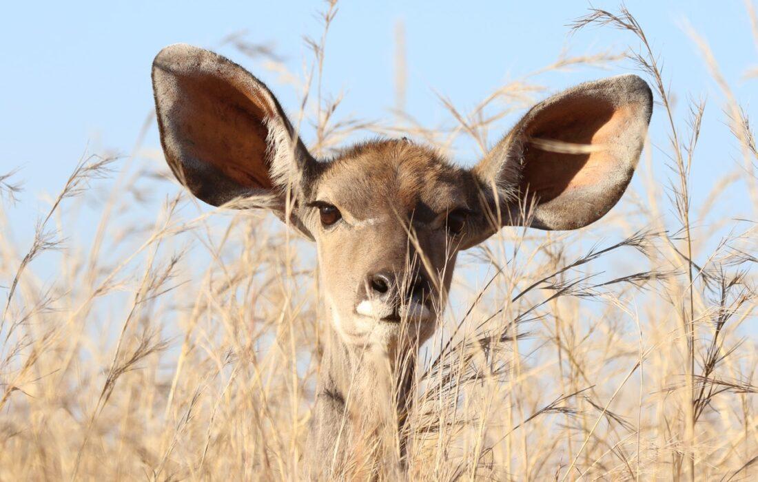 олень с большими ушами