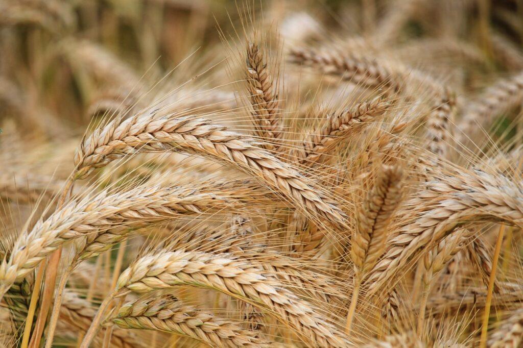 зерновые ростки
